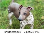 american hairless terrier dogs... | Shutterstock . vector #212528443