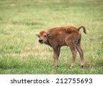 Cute Buffalo Or Bison Calf On...