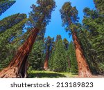The Famous Big Sequoia Trees...