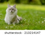 Siberian Cat On Nature