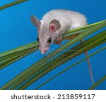 Small photo of a little mouse sitting on a grass (acomys cahirinus)