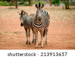 African Zebra Baby And Mother...