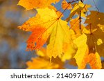 Autumn Background Maple Leaves...
