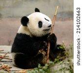 Cub Of Giant Chinese Panda Bea...