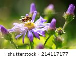 Honey Bee On A Purple...