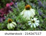 White Echinacea And Bumblebee...
