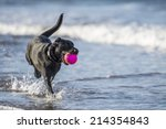 Black Labrador Dog Running...