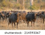 Small photo of African Buffalo bull (Syncerus caffer) with herd