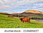 Highland Angus Cow Grazing...