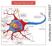 human nerve cell.