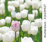 One Rosy Tulip In A Field Of...