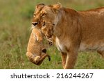 Lioness Mother Carries Her Bab...