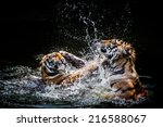 Two Tigers Fighting In Water