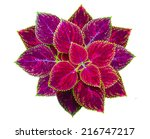 Painted Nettle Flower  Coleus...