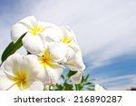 white plumeria flower | Shutterstock . vector #216890287