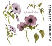 convolvulus and leaves ... | Shutterstock . vector #216898513
