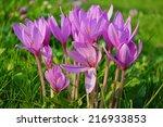 Colchicum Flower