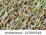 grain sprouted wheat closeup ... | Shutterstock . vector #217005163