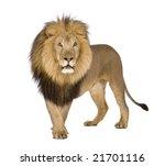 Lion  8 Years    Panthera Leo...
