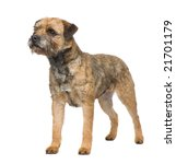 Border Terrier In Front Of A...