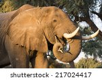 Portrait Of An African Elephan...