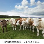 a group of cattle grazing on... | Shutterstock . vector #217157113