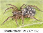 Female Wolf Spider  Trochosa...