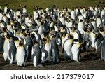 King Penguins  Volunteer Point...