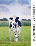 Small photo of Cute Holstein-Frisian calf in a green Dutch meadow with a corn field on the background.