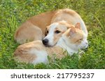 Stock photo red haired cat sleeps with a red haired dog on a green lawn 217795237