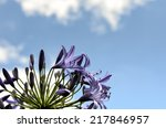 Agapanthus Flowers. The Flower...