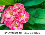 crown of thorns flowers  ...   Shutterstock . vector #217884037