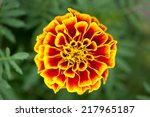 Marigold Flower On Green...