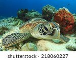 Green Turtle Rubs Shell Agains...