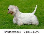 white sealyham terrier in the...   Shutterstock . vector #218131693