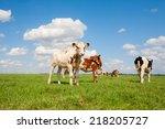 dutch calves in the meadow | Shutterstock . vector #218205727