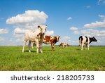 dutch calves in the meadow | Shutterstock . vector #218205733