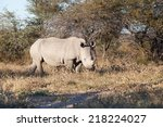 Постер, плакат: white rhino grassing in