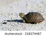 Ornate Box Turtle Encounters A...