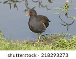 a moorhen commonly known as... | Shutterstock . vector #218293273