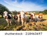 Herd Of German Fleckvieh And...