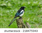 a magpie perching on a tree... | Shutterstock . vector #218475343