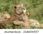 African Lion  Panthera Leo . A...