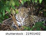 Jaguar In The Wild Pantanal ...