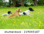 Dogs Playing In A Summer Meadow