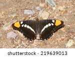 Small photo of Arizona Sister (Adelpha eulalia) Butterfly on the ground in the desert