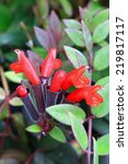 Small photo of Aeschynanthus micranthus, Gesneriaceae