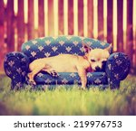 A Cute Chihuahua Laying On A...