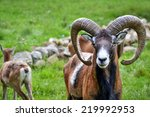 Mouflon In Natural Environment