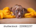 Pet American Pit Bull Terrier...